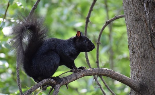 1200px-Calgary_black_squirrel